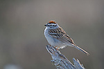 Chipping sparrow (Spizella passerina) perched on a snag