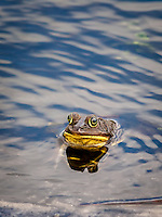 Eyes and Face of American BullFrog in water