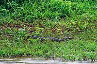 413008001c a wild caiman caiman crocodilus basks along the shoreline of a river in north central venezuela