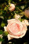 New Dawn Rose.