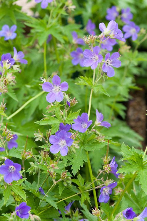 Geranium sylvaticum 'Mayflower', late May.