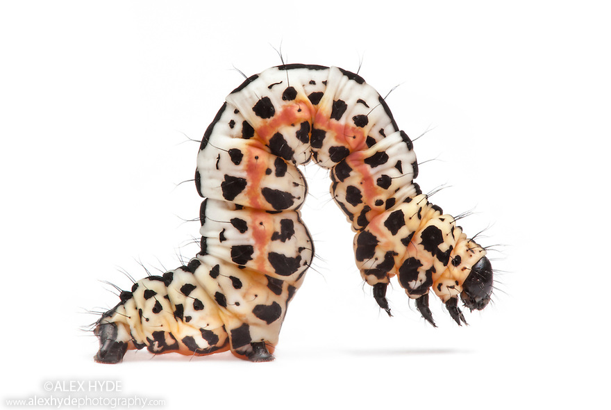 Magpie Moth caterpillar (Abraxas grossulariata) showing warning colouration, photographed on a white background. Peak DIstrict National Park, Derbyshire, UK. June.