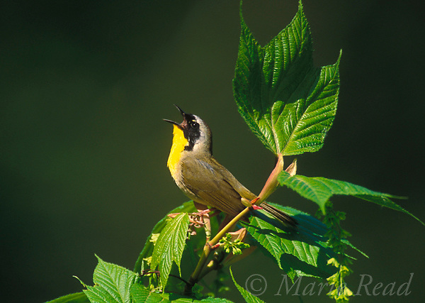 Common Yellowthroat (Geothlypis trichas) male singing while perched in striped maple (Acer pensylvanicum) (AKA &quot;moosewood&quot;) in spring, New York, USA<br /> Slide # B161-843