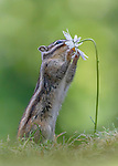 An adorable little chipmunk reaches up and smells a flower.  He pulls down on the petal to smell the daisy before taking a hesitant bite.<br /> <br /> The heart-warming pictures of the Siberian chipmunk were captured in Tilburg in the Netherlands.  The photos were captured by amateur photographer and architect Albert Beukhof.  SEE OUR COPY FOR DETAILS.<br /> <br /> Please byline: Albert Beukhof/Solent News<br /> <br /> © Albert Beukhof/Solent News & Photo Agency<br /> UK +44 (0) 2380 458800