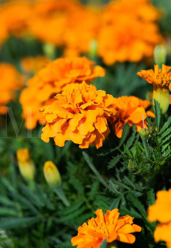 Orange marigolds, Calendula.