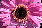 Gisela, FLOWERS, BLUMEN, FLORES, photos+++++,DTGK1980,#f#