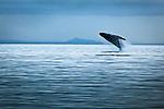 Humpback Whale breaching, Glacier Bay National Park & Preserve, Southeast Alaska, Summer.