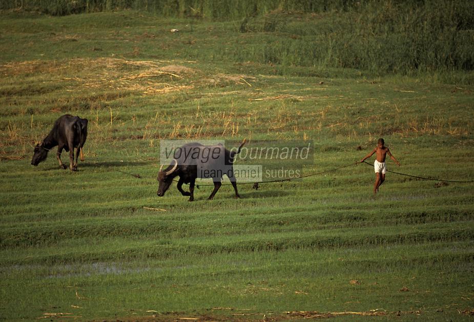 Afrique/Egypte: Vie rurale sur les bords du Nil - Jeune vacher  et ses vaches