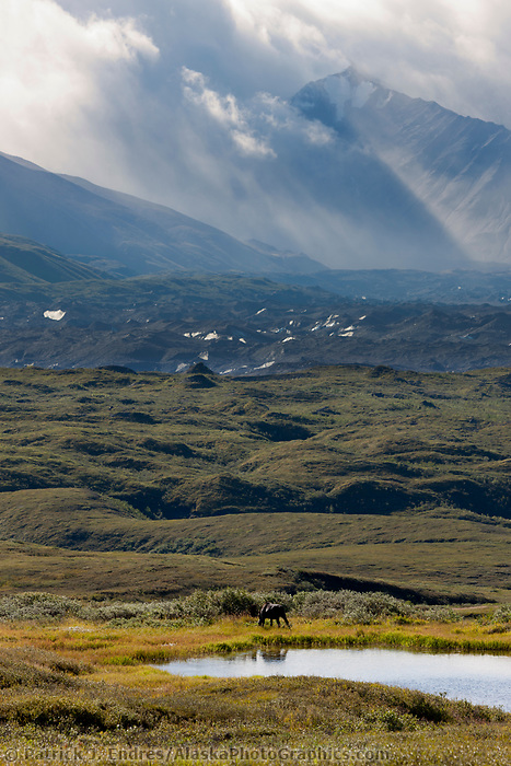 Bull moose feeds on summer grasses in a small tundra pond with the Alaska Range mountains and the muldrow glacier moraine in the distance, Denali National Park, Interior, Alaska.