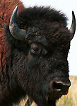 Bull Buffalo, American Bison, Buffalo, Animal, wild animals, domestic animals,  Fine Art Photography, Ronald T. Bennett (c) Fine Art Photography by Ron Bennett, Fine Art, Fine Art photography, Art Photography, Copyright RonBennettPhotography.com ©