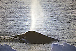 Bowhead Whale With Spray From Blowhole