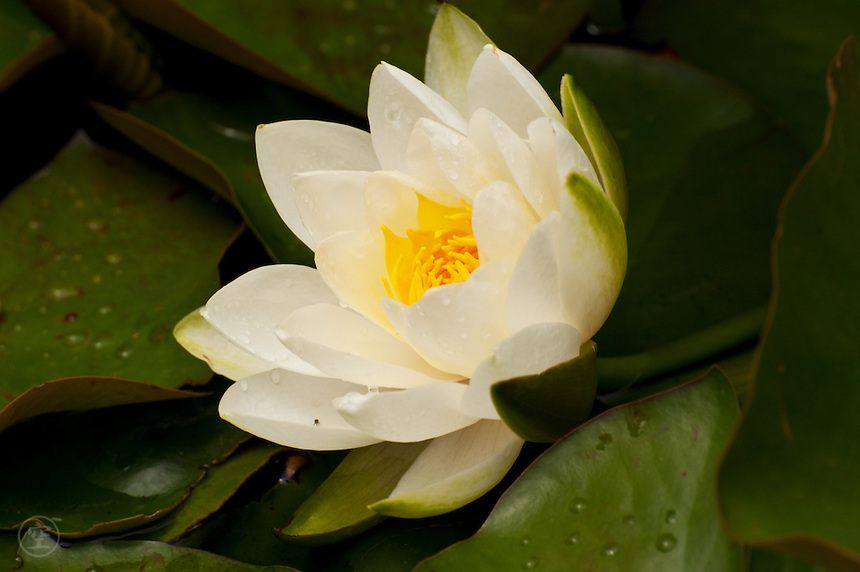 White water lily flower, Larkwhistle Gardens, Bruce Peninsula, Ontario, Canada.