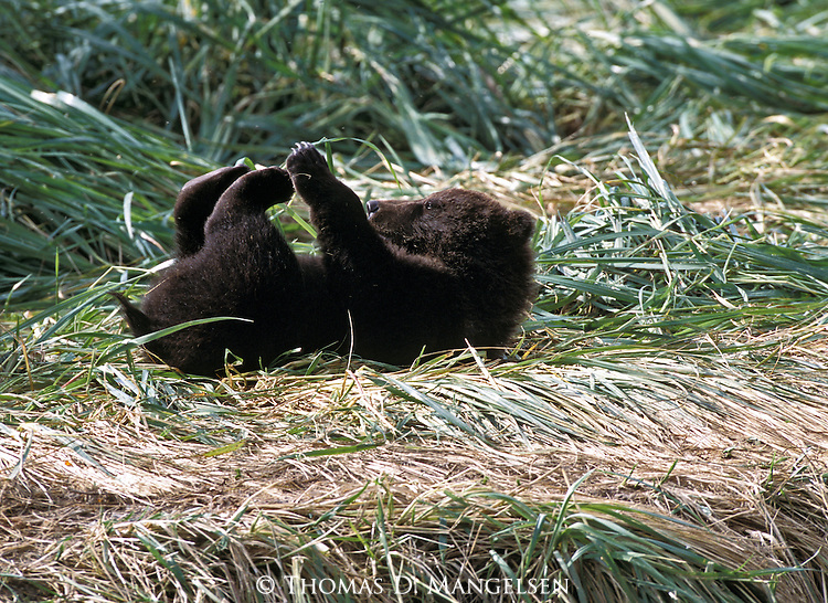 Alaskan Brown Bear (Ursus arctos) cub playing on it's back in Southeast, AK