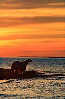 Polar bear stands at the edge of the Beaufort Sea as the sun rises in Arctic, Alaska.