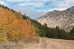 Autumn Quaking Aspen and mountains, Green Creek area, Toiyabe National Forest, California