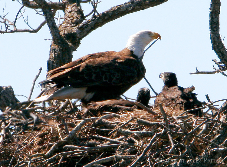 The Llano bald eagle nest with adult female and two chicks