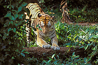 Sumatran Tiger (Panthera tigris) marking on log.