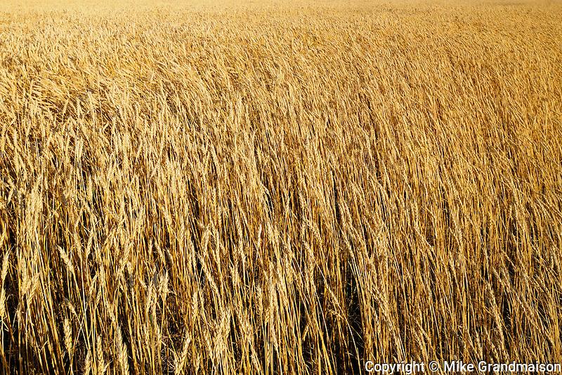 Wheat field<br /> Morse<br /> Saskatchewan<br /> Canada