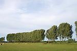 Europa, DEU, Deutschland, Nordrhein Westfalen, NRW, Rheinland, Niederrhein, Kleve-Kranenburg, Naturschutzgebiet Dueffel, Baeme, Pappeln, Pappelreihe, Kuehe, Kategorien und Themen, Natur, Umwelt, Landschaft, Jahreszeiten, Stimmungen, Landschaftsfotografie, Landschaften, Landschaftsphoto, Landschaftsphotographie, Naturschutz, Naturschutzgebiete, Landschaftsschutz, Biotop, Biotope, Landschaftsschutzgebiete, Landschaftsschutzgebiet, Oekologie, Oekologisch, Typisch, Landschaftstypisch, Landschaftspflege....[Fuer die Nutzung gelten die jeweils gueltigen Allgemeinen Liefer-und Geschaeftsbedingungen. Nutzung nur gegen Verwendungsmeldung und Nachweis. Download der AGB unter http://www.image-box.com oder werden auf Anfrage zugesendet. Freigabe ist vorher erforderlich. Jede Nutzung des Fotos ist honorarpflichtig gemaess derzeit gueltiger MFM Liste - Kontakt, Uwe Schmid-Fotografie, Duisburg, Tel. (+49).2065.677997, ..archiv@image-box.com, www.image-box.com]