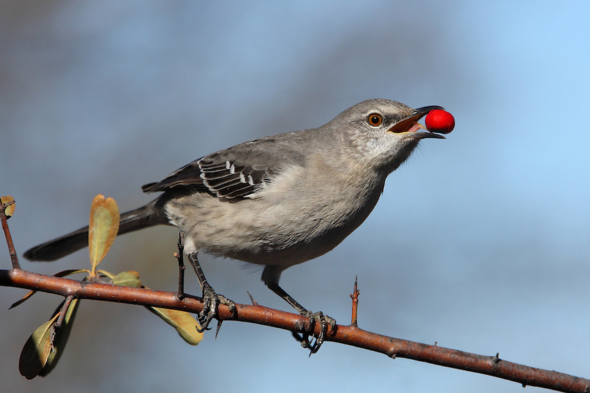 Northern Mockingbird in Decemeber.