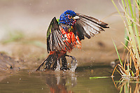 Painted Bunting (Passerina ciris), male bathing, Sinton, Corpus Christi, Coastal Bend, Texas, USA
