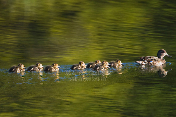 Blue-winged Teal (Anas discors), female with chicks, Grand Teton NP,Wyoming, USA