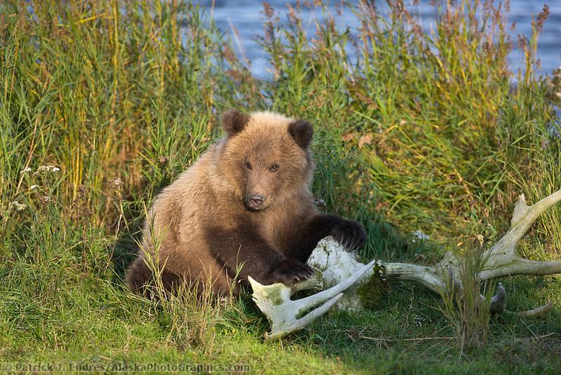 Brown bear cub plays with moose antlers, Katmai National Park, Alaska.