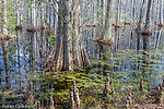 The cypress swamp at Cypress Gardens in Moncks Corner, South Carolina, USA