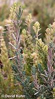 1202-0830  Spanish Lavender, Detail of Stem, Lavandula stoechas  © David Kuhn/Dwight Kuhn Photography