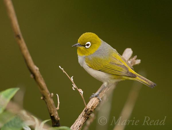 Silvereye (Zosterops lateralis), Atherton Tableland, Queensland, Australia