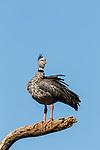 Southern Screamer (Chauna torquata), Ibera Provincial Reserve, Ibera Wetlands, Argentina