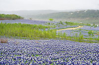 Texas bluebonnets at Muleshoe Bend Recreation Area - Lake Travie
