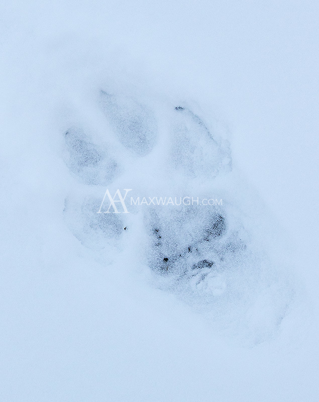 A wolf print in the snow.