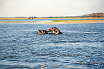 Elephants Mating in Chobe River in Chobe National Park in Botswana in Africa