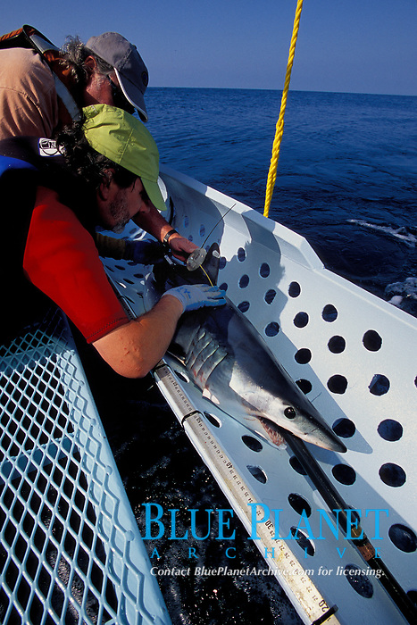 Shark fishing, Mako shark, Isurus oxyrinchus, tagging, California, USA, East Pacific Ocean