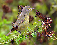Orange-crowned warbler at flower seeds, note the rarely-seen orange crown.
