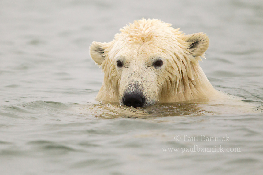 A Polar Bear swims in the ocean along the ANWR coastal plain near Kaktovik Alaska.