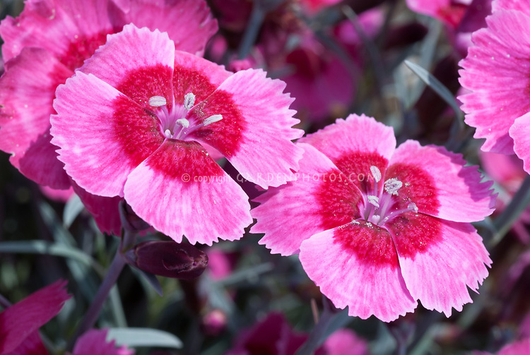Dianthus India Star in pink flowers with red eye, single flowered