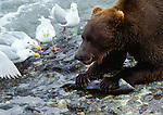 In a face-off between two ecological niches, an omnivore (brown bear) confronts scavengers (western gulls) over a McNeil River salmon. Bears almost always win these encounters, but many prefer to avoid argument by eating their catches in the water. Alaska, USA.