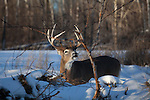 White-tailed buck - flehmen behavior