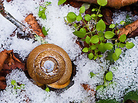 Land Snail, velvet covert (Inflectarius subpalliatus) in snow