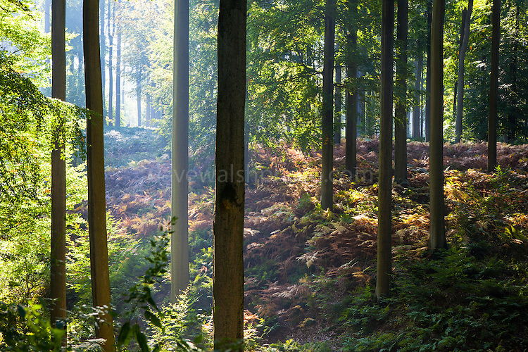 """Autumn in the Sonian Forest, Foret de Soignes, or Zoniënwoud, an 11,000 hectare woodland to the southeast of Brussels, providing a """"green lung"""" for the polluted, traffic choked city. The forest is currently in three jurisdictions, Brussels, Flanders and Wallonia, but EU involvement in 2013 will see development of plans to re-unify the forest, for the benefit of humans and wildlife."""