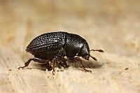 Großer Schwarzer Eschenbastkäfer, Eschen-Bastkäfer, Borkenkäfer, Hylesinus crenatus, Large elm bark beetle