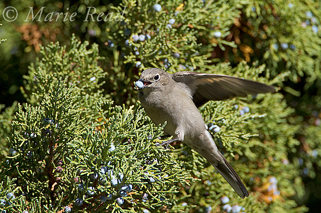 Townsend's Solitaire (Myadestes townsendii), raises its wing for balance as it feeds on Western (=Sierra) Juniper berry in autumn, Mono Lake Basin, California, USA