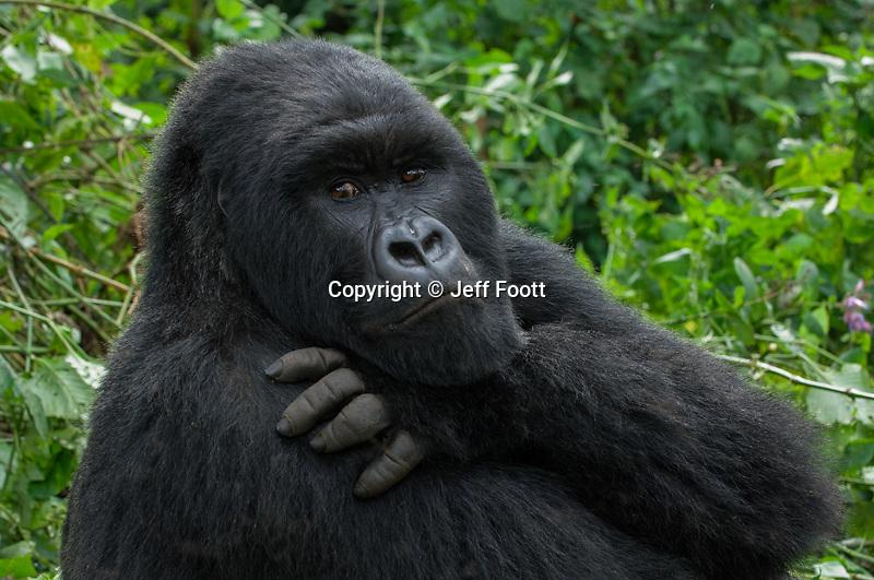 Male -silver back Mountain Gorilla (beringei beringei),Rwanda, Volcanoes National Park, Rwanda.