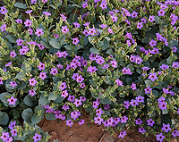 The 4 O'Clock plant blooms in the spring in the Northern Arizona desert.