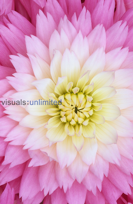Close-up of a Gay Princess variety Dahlia flower.