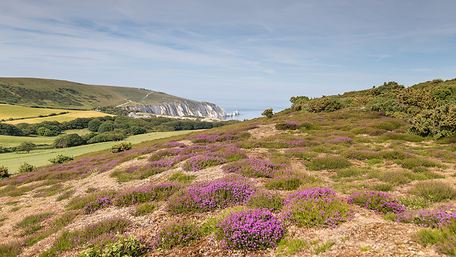 Looking towards the Needles with the Pink heather in bloom on Headon Warren, West Wight.
