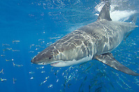 Great White Shark, Carcharodon carcharias, also known as the White Pointer, and White Death. Guadalupe Island, Baja, Mexico