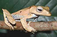 File-eared tree frog, Polypedates otilophus, Kubah National Park, Borneo, Malaysia